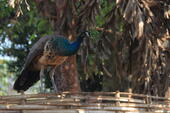 Peacock perched on a bamboo fence